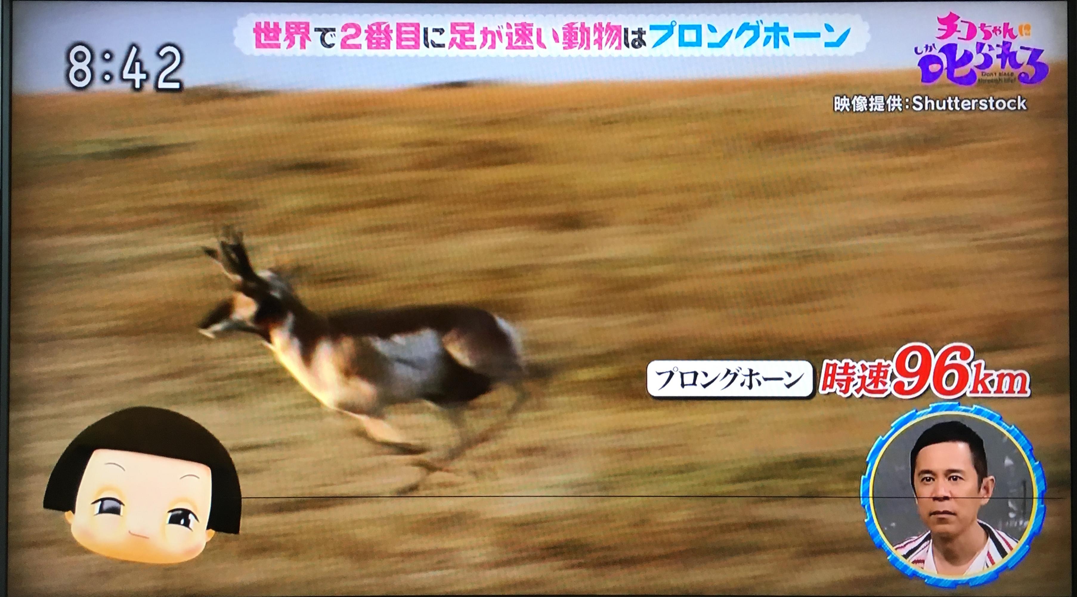 帰ってきた働き方改革のコーナー「世界で2番目に足が速い動物は?」 → プロングホーン。チーターに襲われないように